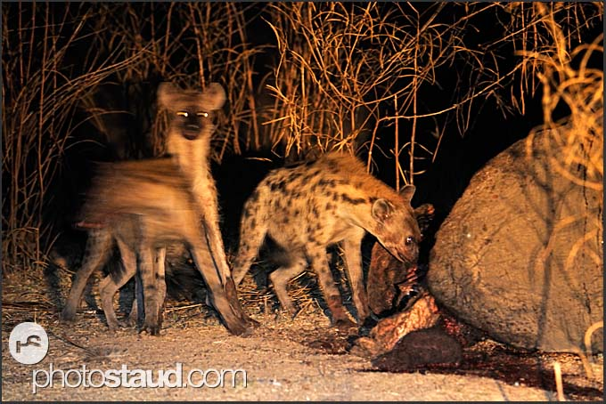 Spotted hyenas (Crocuta crocuta) assembling at elephant body at night (Loxodonta africana), South Luangwa National Park, Zambia