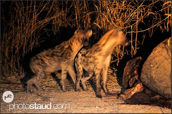Spotted hyenas (Crocuta crocuta) assembling at elephant body at night (Loxodonta africana), South Luangwa National Park, Zambia