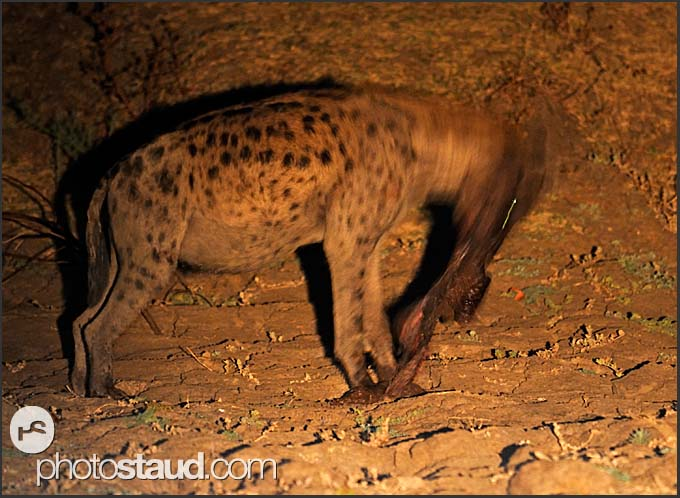 Spotted hyena (Crocuta crocuta) eating pieces of elephant flash (Loxodonta africana), South Luangwa National Park, Zambia