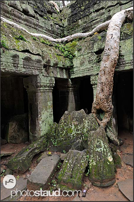 Kapok tree invades Ta Prohm Temple, Angkor, Cambodia