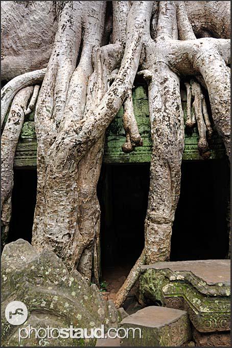 Kapok Tree (Ceiba pentandra) Silk Cotton Tree on the wall of Ta Prohm Temple, Angkor, Cambodia