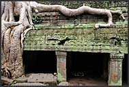 Silk Cotton Tree (Ceiba pentandra) on the wall of Ta Prohm Temple, Angkor, Cambodia