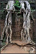 Ancient ruins of Ta Prohm temple with tree roots, Angkor Wat Cambodia