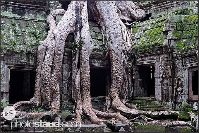 Kapok Tree (Ceiba pentandra), invading Ta Prohm Temple, Angkor, Cambodia