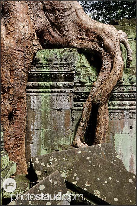 Kapok Trees (Ceiba pentandra) invading Ta Prohm Temple, Angkor, Cambodia