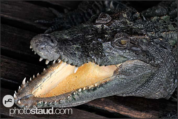 Crocodile in Chong Kneas floating village on Tonle Sap Lake, Cambodia