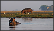 Two hippos (Hippopotamus amphibius) in a water-pool, Kafue National Park, Zambia