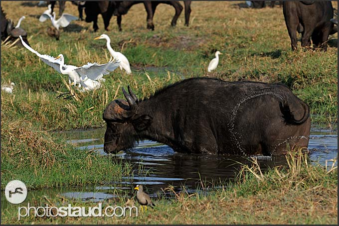 Cape buffalo (Syncerus caffer) and Great white egret (Ardea alba), Kafue National Park, Zambia