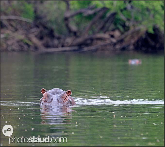 Hippo (Hippopotamus amphibius) emerging from Lunga River, Kafue National Park, Zambia