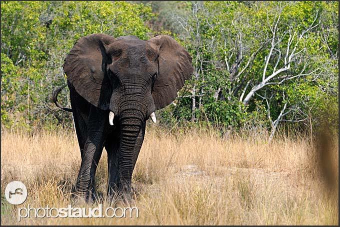 African elephant (Loxodonta africana), Kafue National Park, Zambia