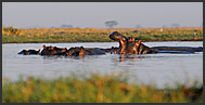 Hippos (Hippopotamus amphibius) in a water-pool, Busanga Plains, Kafue National Park, Zambia