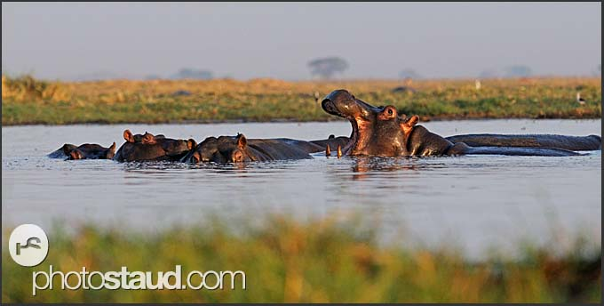 Hippos (Hippopotamus amphibius) in a water-pool, Busanga Plains, Kafue National Park, Zambia