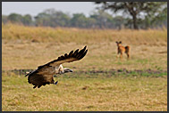 White-backed Vultures (Gyps africanus), Busanga Plains, Kafue National Park, Zambia