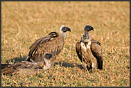 Flying White-backed Vulture (Gyps africanus) and Puku Antelope (Kobus vardonii), Kafue National Park, Zambia