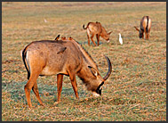 Roan Antelopes (Hippotragus equinus) grazing on Busanga Plains, Kafue National Park, Zambia