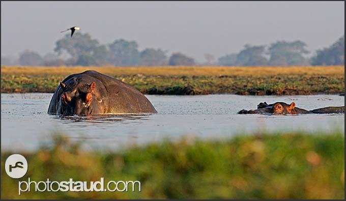 Hippos (Hippopotamus amphibius) in water, Busanga Plains, Kafue National Park, Zambia