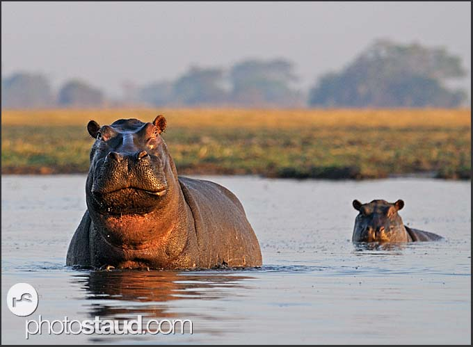 Hippos (Hippopotamus amphibius) in water, Busanga Plains, Kafue National Park, Zambia