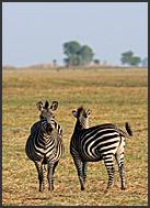 Burchells zebra (Equus quagga) on the Busanga Plains, Kafue National Park, Zambia