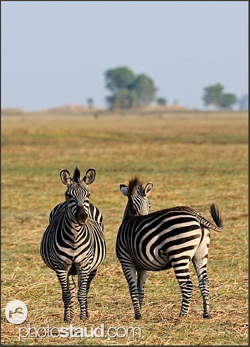 Two Burchells zebra (Equus quagga) on the Busanga Plains, Kafue National Park, Zambia