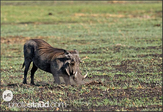 Warthog (Phacochoerus africanus), African Lens-Pig, Kafue National Park, Zambia