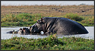 Hippo (Hippopotamus amphibius) and Great white egrets (Ardea alba), Kafue National Park, Zambia