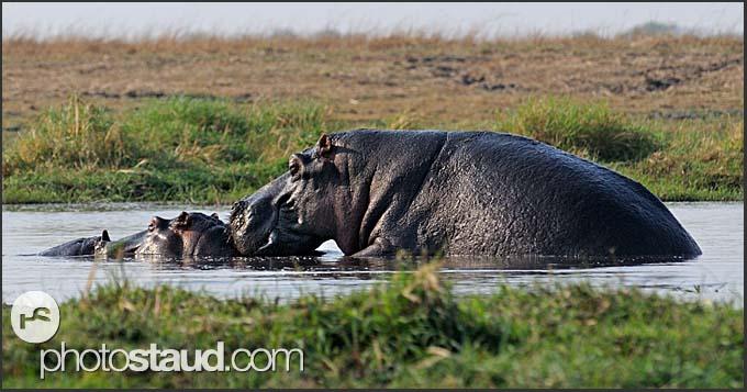 Hippos mating in water (Hippopotamus amphibius), Kafue National Park, Zambia