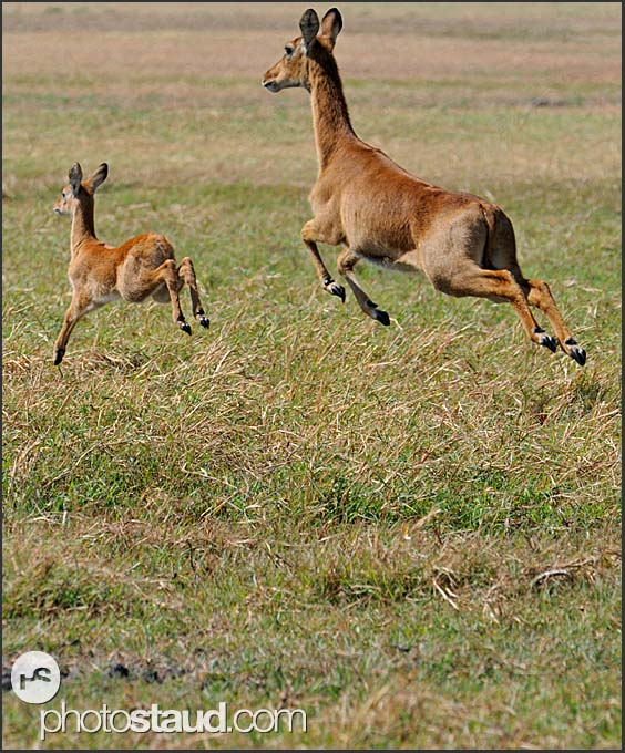 High jump, Puku Antelope (Kobus vardonii) running on Busanga Plains, Kafue National Park, Zambia