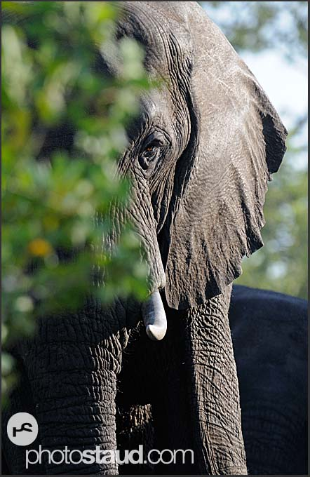 African elephant (Loxodonta africana) at the bank of Zambezi River, Mosi-oa-Tunya National Park, Zambia