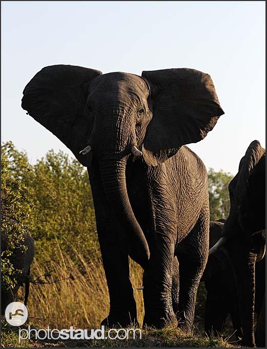 African elephant (Loxodonta africana) at the bank of Zambezi River, Mosi-oa-Tunya National Park, Zambia