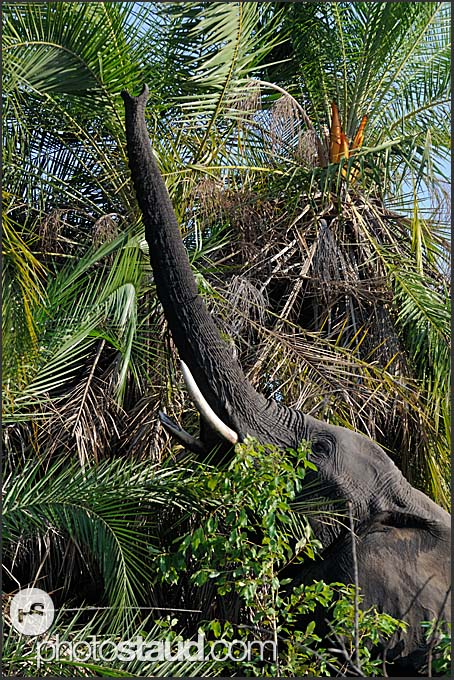 African elephant (Loxodonta africana) reaching for food, Mosi-oa-Tunya National Park, Zambia