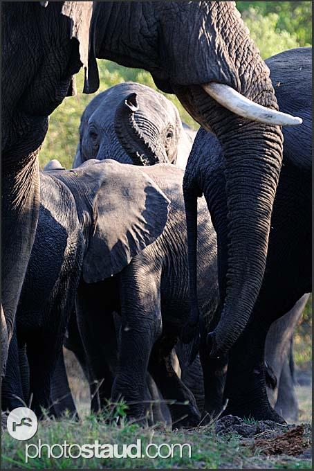 African elephants (Loxodonta africana) at the bank of Zambezi River, Mosi-oa-Tunya National Park, Zambia