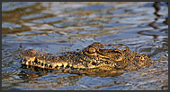 Nile crocodile (Crocodylus niloticus) in the Zambezi River, Mosi-oa-Tunya National Park, Zambia