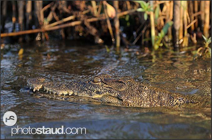 Nile crocodile (Crocodylus niloticus) in the Zambezi River, Mosi-oa-Tunya National Park, Zambia