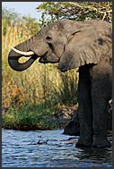 African elephants (Loxodonta africana) at the bank of Zambezi River, Mosi-oa-Tunya National Park, Zambia