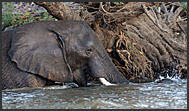 African elephants (Loxodonta africana) bathing in Zambezi River, Mosi-oa-Tunya National Park, Zambia