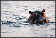 African elephants (Loxodonta africana) bathing in Zambezi River, Mosi-oa-Tunya National Park, Zambia
