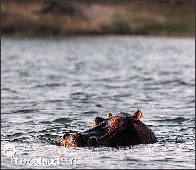 Wildlife of mosi oa tunya np hippopotamus mosi oa tunya national park