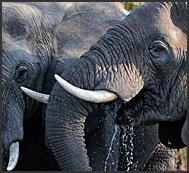 African elephants (Loxodonta africana) drinking from Zambezi River, Mosi-oa-Tunya National Park, Zambia