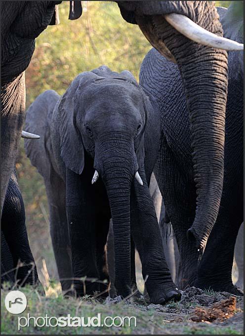 Elephant loxodonta africana in mosi oa tunya national park zambia