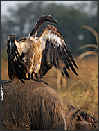 Two White-backed Vultures (Gyps africanus) fighting on elephant body (Loxodonta africana), South Luangwa National Park, Zambia