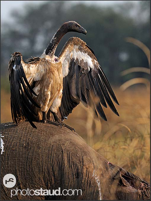 White-backed Vulture (Gyps africanus) feeding on elephant body (Loxodonta africana), South Luangwa National Park, Zambia