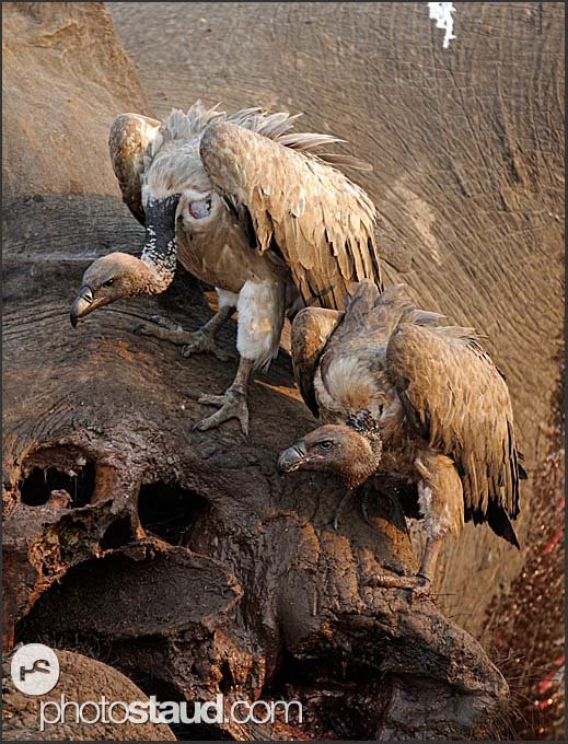White-backed Vultures (Gyps africanus) feeding on elephant body (Loxodonta africana), South Luangwa National Park, Zambia