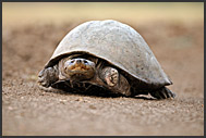 Serrated hinged terrapin (Pelusios sinuatus), South Luangwa National Park, Zambia