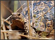 Leopard tortoise (Geochelone pardalis), South Luangwa National Park, Zambia