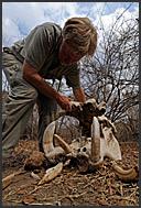Safari guide assembling hippopotamus skull (Hippopotamus amphibius), South Luangwa National Park, Zambia