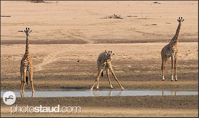 Thornicroft's Giraffes (Giraffa camelopardus thornicrofti) endemic to Luangwa National Park, Zambia