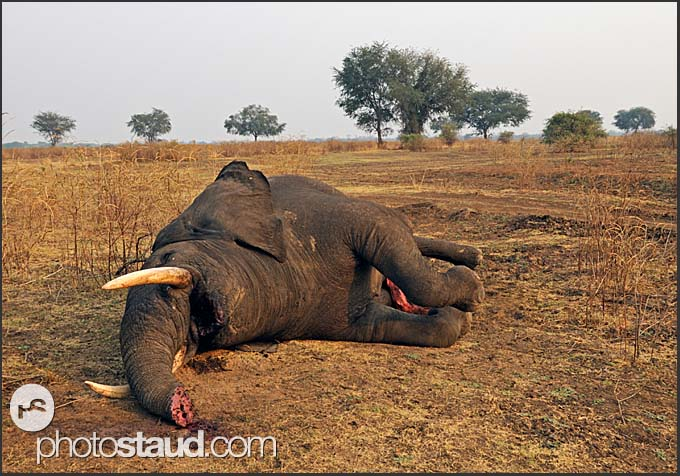 Dead elephant (Loxodonta africana) lying in South Luangwa National Park, Zambia