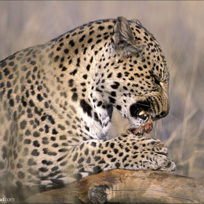 Leopard eating a kill in grass, Namibia