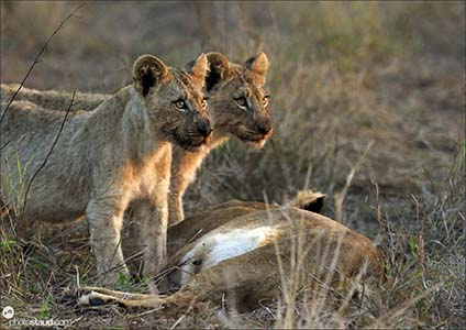 Lions of Hlane National Park, Swaziland