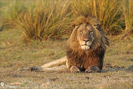 Lion male (Panthera leo) resting in Busanga Plains of Kafue National Park, Zambia